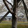 【桜・お花見サイクリング】荒川サイクリングロード沿いの桜、その名も小松川千本桜!