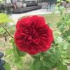 丈夫で育てやすい!至高の赤バラ ジークフリート(Siegfried)の成長 ~ 大苗の植え付けから初の開花まで