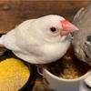 我が家の文鳥さんの食事