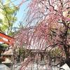 京都南IC近くに有ります「城南宮」枝垂れ梅 2020