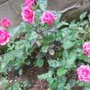 赤いバラがピンクで咲いた話