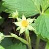 #12 ワイルドストロベリー 開花