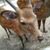 京都・奈良旅行2日目 春日大社で鹿と遊ぼう