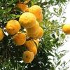 【ゆずの大量消費】苦みが残らない甘さ控えめの柚子ジャムレシピ
