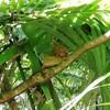 ターシャ:フィリピンのボホール島に住む世界1小さなメガネザル