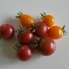 残念なプランターのヒマワリとトマト