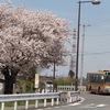 【写真多数】横浜市内の名所ではない、桜の写真。とっても綺麗でした。