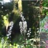 都立神代植物園ではイヌショウマの白い花が見頃