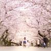 Snapshot@桜の風景#1