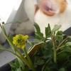 ヒキノカサが咲いた