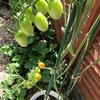 家庭菜園~ミニトマト 【Vol.2 : どこまで伸びるの?】