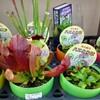 ホームセンターの食虫植物(2020年)
