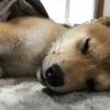 柴犬あきとの生活 32