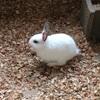 ウサギ、兎、うっさぎ。