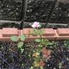 ミニバラの花が咲きました。3週間で復活。やったー。