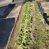 中断中のひとりごと・野菜の間引き作業
