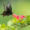 朝の蝶撮り