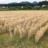 『初めての大麦収穫』