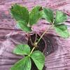 露地栽培イチゴの炭疽病