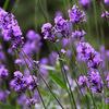 じじぃの「ラベンダー・日本でも嗅ぐことができるクサい植物たち!世にも驚異な植物たち」