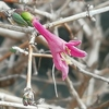 庭の四季(1月) ~ウグイスカグラ