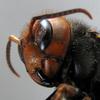 範馬刃牙は最強昆虫はカマキリと言っていますが!コイツもヤバイです!