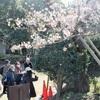 見ごろの「玉縄桜」 ~大船観音へ ウオーキング協会例会