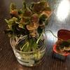 4つ葉のクローバーの鉢に5つ葉6つ葉7つ葉が大量に見つかったワケを考えてみた♥