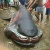 フィリピンでメガマウスと奇妙な魚が捕獲されました