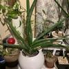 観葉植物 サンセベリア  ロブスタ