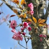 伊豆の里住めば都の八重桜(あ)