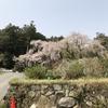 神原のしだれ桜です。ふぁ~っと桜吹雪舞っていました。散り始めています。