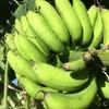 〜やっと実った〜!【自家栽培・島バナナは…】ポリフェノールたっぷりの抗酸化作用の高いフルーツ!〜