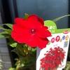 赤い花も咲いた🌸
