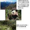 パンダ野生化プロジェクト三つのステップ:  第1期, 野生に近い環境で母と子2頭だけで生活.目標は警戒心を身につけさせること.  第2期, 野生動物も住む広い山に場所を移動,様々な危険を避けながら竹を探す能力を養う.  2つの訓練終了後,母親から離し大自然の山へ.野生のパンダと出会い,子どもを産む.それが究極の目標.「生き残る術を誰がどうやって教えればいいのか?人間には無理だ.じゃあ,誰に頼む?パンダの母親しかいない」 /NHK パンダ山へ帰る(1)