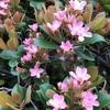 シャリンバイの花です