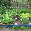 【家庭菜園】大豊作の予感