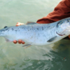 熱波で、アラスカのサケが大量死