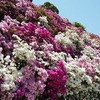 【京都の絶景】三室戸寺の満開に咲き誇るつつじの光景【動画あり】