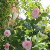 バラの花・他