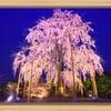斉藤一人さん 一本桜