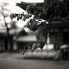 薬師寺西塔横にある桜の木