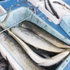 2017年5月29日 小浜漁港 お魚情報
