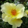 「まつこの庭」の遅咲きのバラ