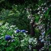 高幡不動尊あじさいまつり2021、山の中で雨に濡れたアジサイが美しい