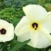 寄稿:花オクラはオクラの花じゃないことを確かめる