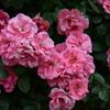 2014/05/31 ピンク・ラ・セビリアーナ 京成バラ園 2014春