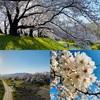 京都府八幡市にある淀川河川公園背割堤地区の桜。まるで桜のトンネル
