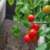 2014年トマト栽培3 収穫開始