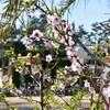 咲いた!アーモンドの花